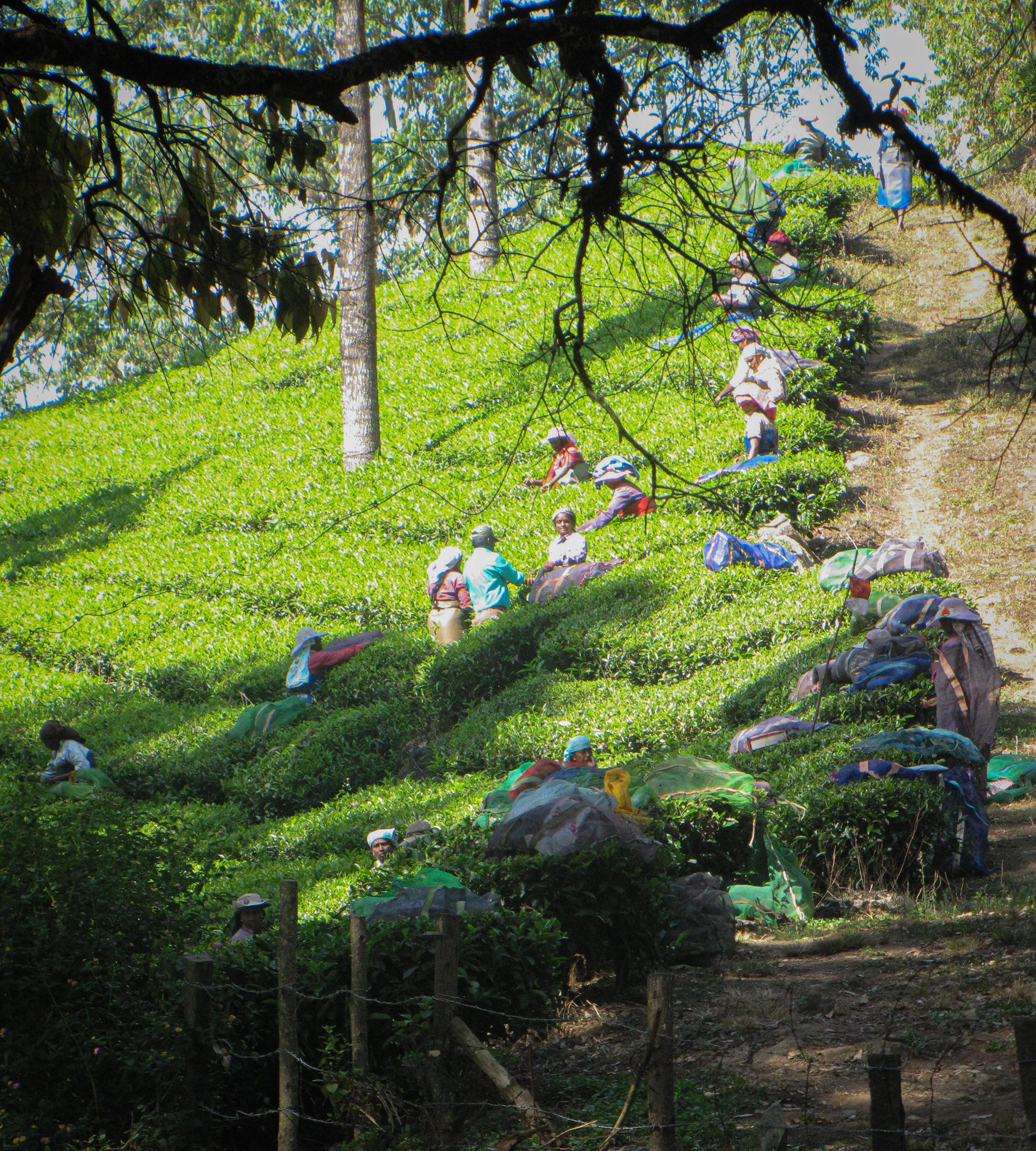 Munnar Raccolta del tè